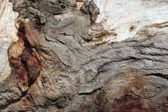Árvore de casca de Gumtree Imagem de Stock