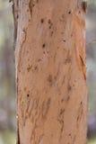 Árvore de casca de papel australiana fotos de stock royalty free