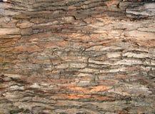 Árvore de casca do carvalho Fotografia de Stock
