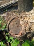 Árvore de casca seca Fotografia de Stock Royalty Free