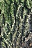 Árvore de casca textured líquene do musgo da casca Imagens de Stock
