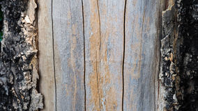 árvore de casca velha saída Imagens de Stock Royalty Free