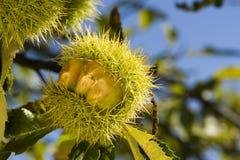 Árvore de castanha Fotos de Stock