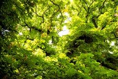 A árvore de castanha com verde sae em Praga, República Checa fotografia de stock royalty free