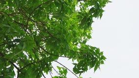 A árvore de castanha deixa o tiro da inclinação do dossel contra o céu claro no slomo vídeos de arquivo