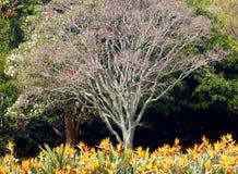 Árvore de castanha do cabo e Strelitzias Fotografia de Stock Royalty Free