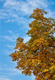 Árvore de castanha do cavalo Foto de Stock Royalty Free