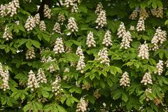 Árvore de castanha de florescência Imagem de Stock Royalty Free