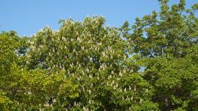 Árvore de castanha de florescência video estoque