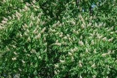 Árvore de castanha de florescência de Pring Fotografia de Stock Royalty Free