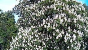 Árvore de castanha na flor filme