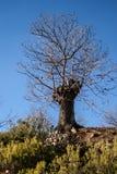 ?rvore de castanha no inverno fotografia de stock royalty free