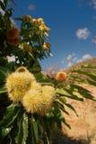 Árvore de castanha no sol espanhol Fotografia de Stock