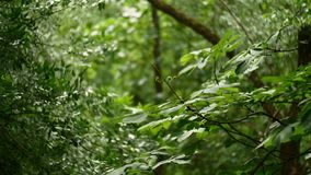 Árvore de castanha no verão e no sopro do vento