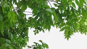 A árvore de castanha sae do tiro da inclinação do dossel video estoque