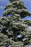 Árvore de Catalpa Fotografia de Stock