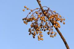 Árvore de cedro branco Imagens de Stock Royalty Free