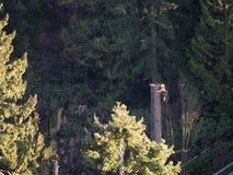 Árvore de cedro de corte do trabalhador grande Imagem de Stock