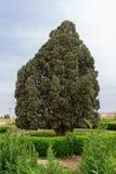 Árvore de cedro velha fotografia de stock