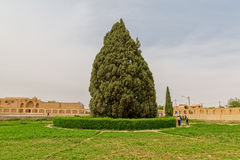 Árvore de cedro velha fotos de stock royalty free