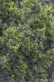 Árvore de cedro vermelho Imagem de Stock