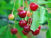 Árvore de cereja ácida fotografia de stock royalty free