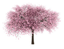 Árvore de cereja ácida isolada no branco Imagens de Stock Royalty Free
