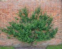 Árvore de cereja. imagem de stock royalty free