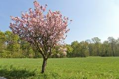 Árvore de cereja Imagens de Stock Royalty Free