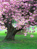 Árvore de cereja Fotos de Stock