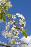 Árvore de cereja Fotografia de Stock Royalty Free