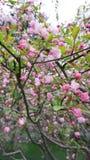 árvore de Cereja-Apple Fotografia de Stock Royalty Free