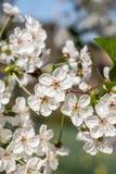 Árvore de cereja branca com flores da flor Fotografia de Stock