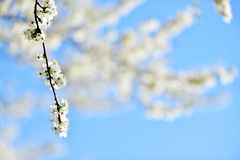 Árvore de cereja branca de florescência na primavera Fotos de Stock