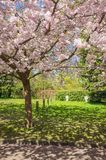 Árvore de cereja chinesa Imagens de Stock Royalty Free