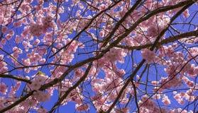 Árvore de cereja chinesa Imagens de Stock