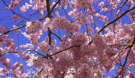 Árvore de cereja chinesa Imagem de Stock