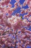 Árvore de cereja chinesa Foto de Stock Royalty Free