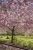 Árvore de cereja chinesa Fotos de Stock