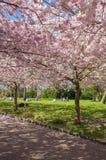 Árvore de cereja chinesa Fotografia de Stock Royalty Free