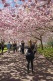 Árvore de cereja chinesa Fotos de Stock Royalty Free