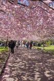 Árvore de cereja chinesa Imagem de Stock Royalty Free