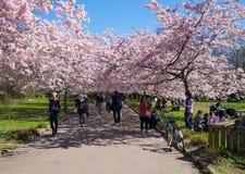 Árvore de cereja chinesa Foto de Stock