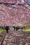 Árvore de cereja chinesa Fotografia de Stock