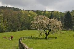 Árvore de cereja com campo em Baixa Saxónia, Alemanha fotos de stock