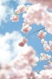 Árvore de cereja da flor da mola Imagens de Stock Royalty Free
