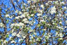 Árvore de cereja da flor da mola Fotografia de Stock