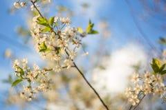 Árvore de cereja da flor Ramifique com as flores brancas bonitas no fundo do céu azul fotos de stock