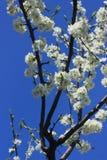 Árvore de cereja de florescência Fotografia de Stock Royalty Free