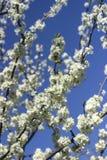 Árvore de cereja de florescência Fotos de Stock Royalty Free